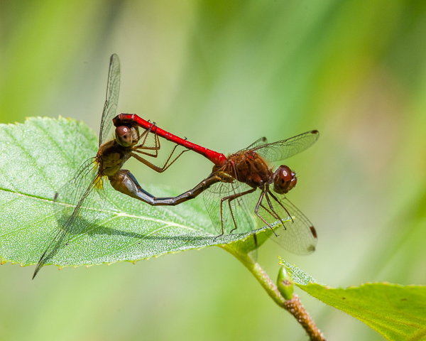 Autumn Meadowhawk Mating Wheel