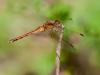 Autumn Meadowhawk (female)