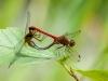 Autumn Meadowhawk Mating Wheel