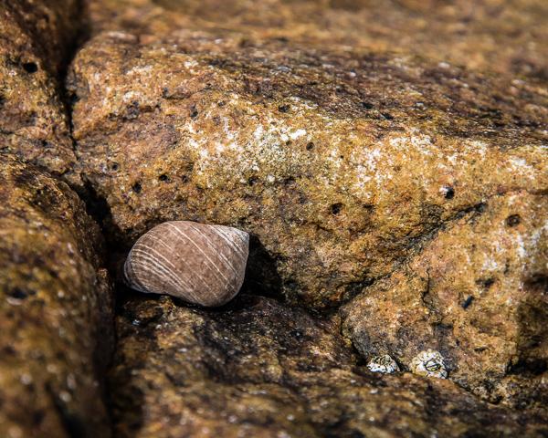 Tidal Pool Snail