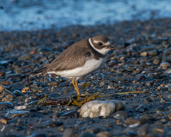 Semipalmated Plover (juv.)