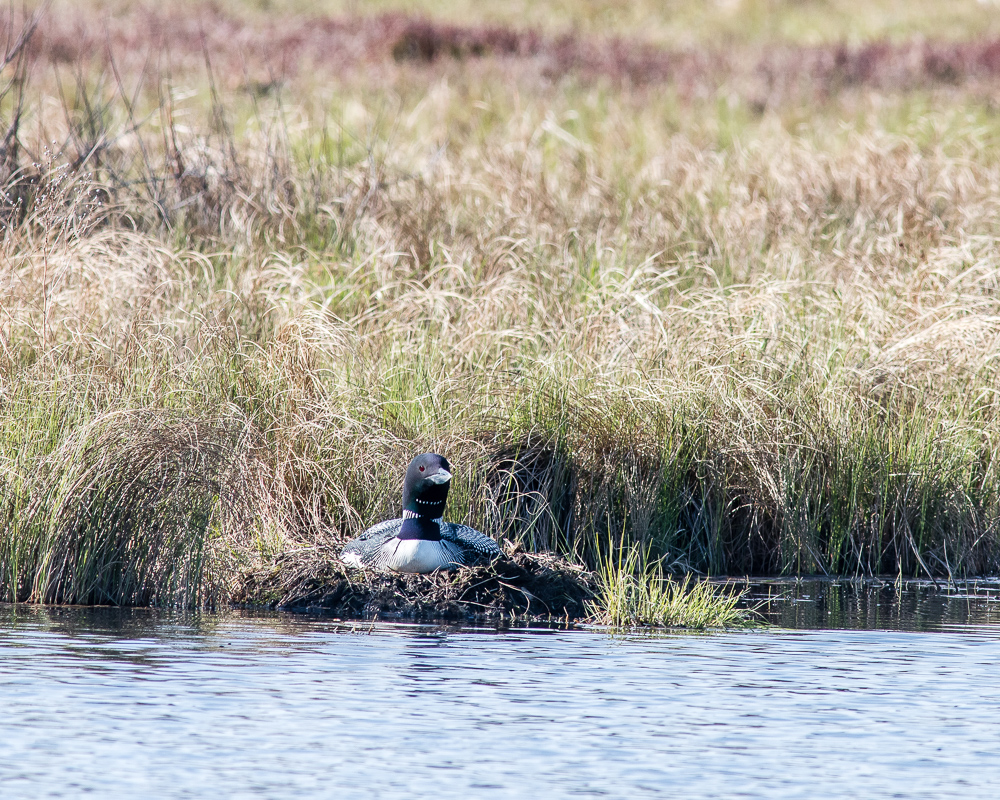 Common Loon on Nest - Gregg Lake (May 2020)