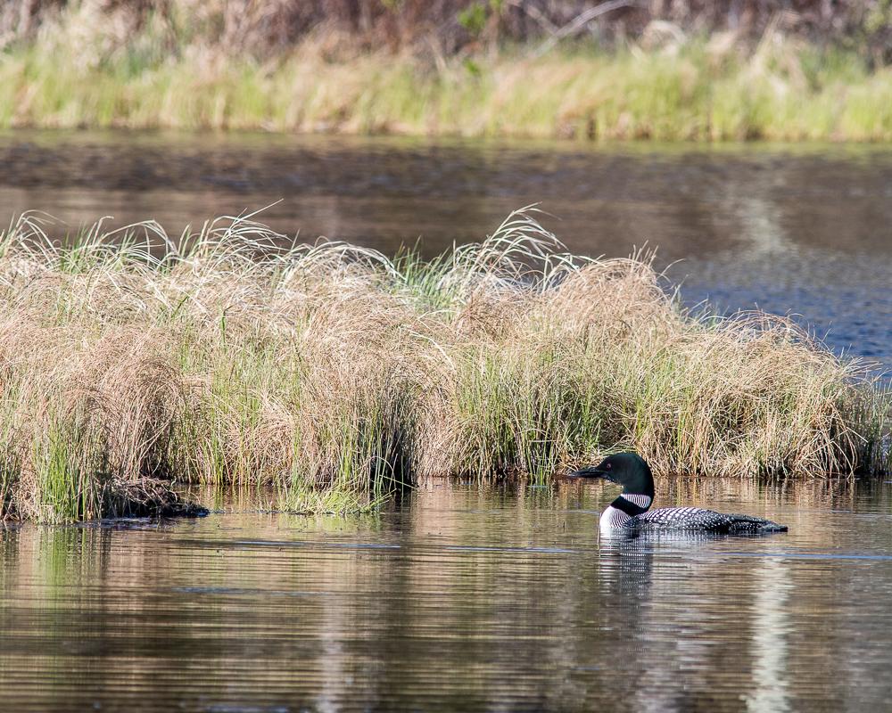 Common Loon Near Nest - Gregg Lake (May 2020) #1