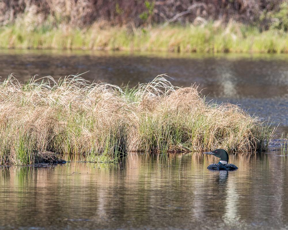 Common Loon Near Nest - Gregg Lake (May 2020) #2