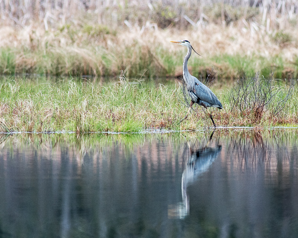 Nearby Great Blue Heron