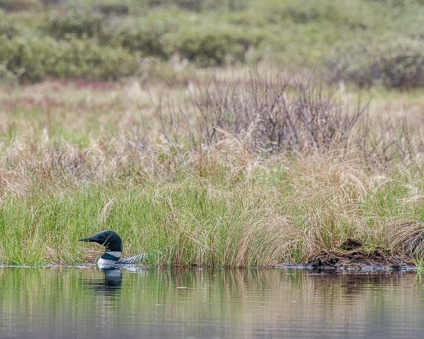 Loon Near Nest