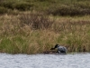 Loon #2 Climbing Onto Nest