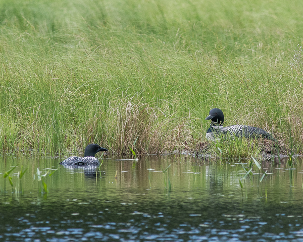 Loon Pair at Nest #1