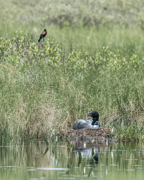 Loon on Nest with Red-winged Blackbird