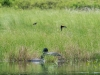 """Couples"" (Loons and Red-winged Blackbirds)"
