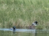 Loon Pair at Nest #3