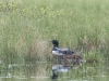 Loon on Nest Panting #1