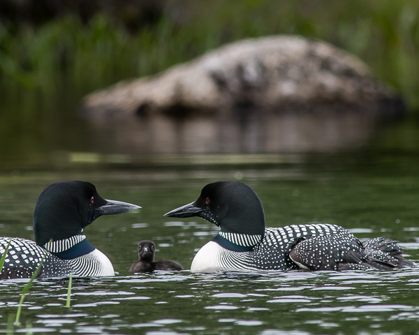 Loon Family (One Chick & Two Adults) #1