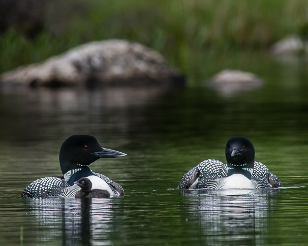 Loon Family (One Chick & Two Adults) #3