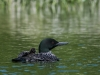 Adult Loon with One Chick on Back #1