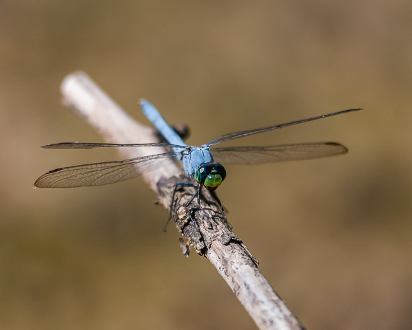 Common Pondhawk (male)