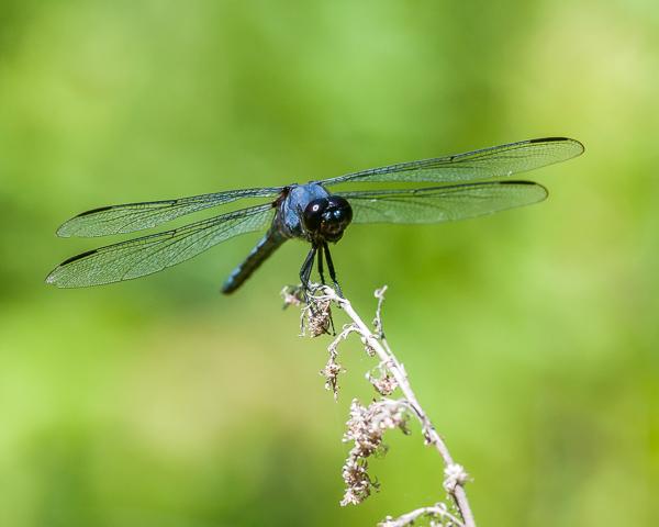 Slatey Skimmer (male)