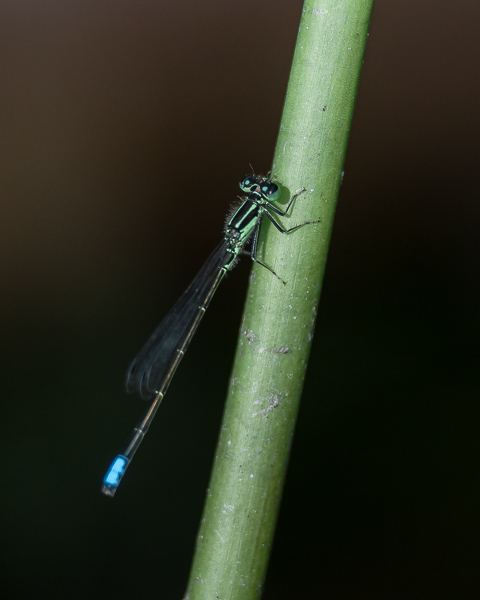 Eastern Forktail (male)