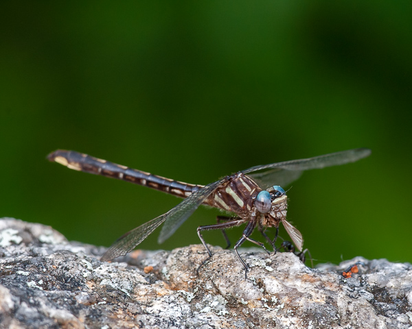 Lancet Clubtail with Prey