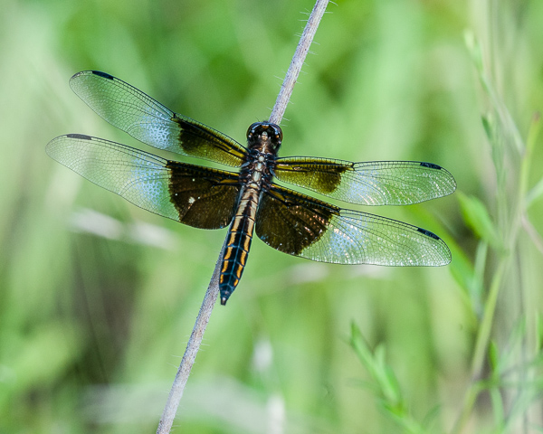 Widow Skimmer (female) #1