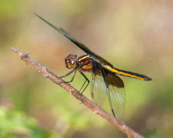 Widow Skimmer (female) #2