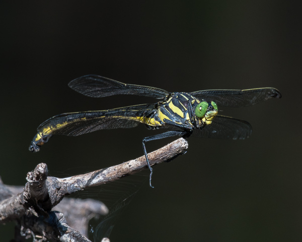 Dragonhuneter (male)