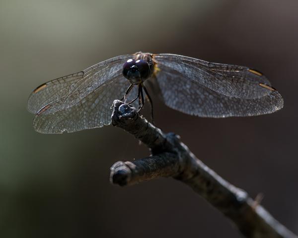 Dragonfly (ID?)