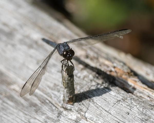 Slaty Skimmer (male)
