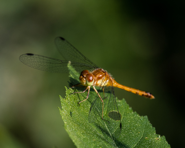 Meadowhawk (immature male)