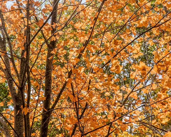 Fall Foliage (detail)