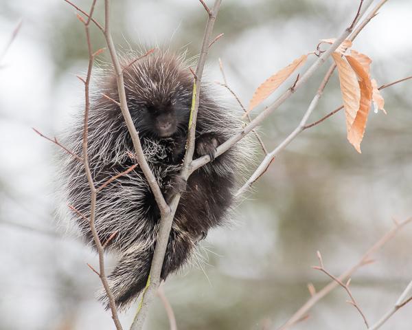 Porcupine (hor.)
