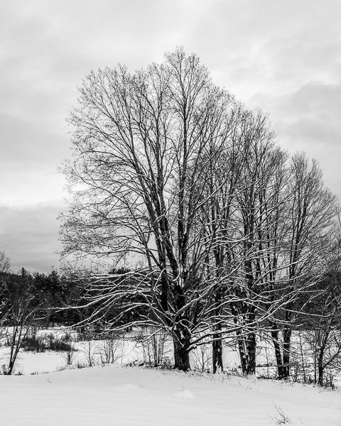 Snowy Trrees