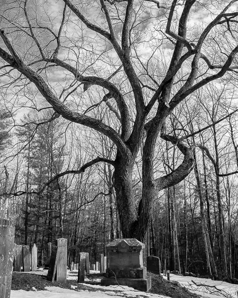 Cemetery Walnut #2