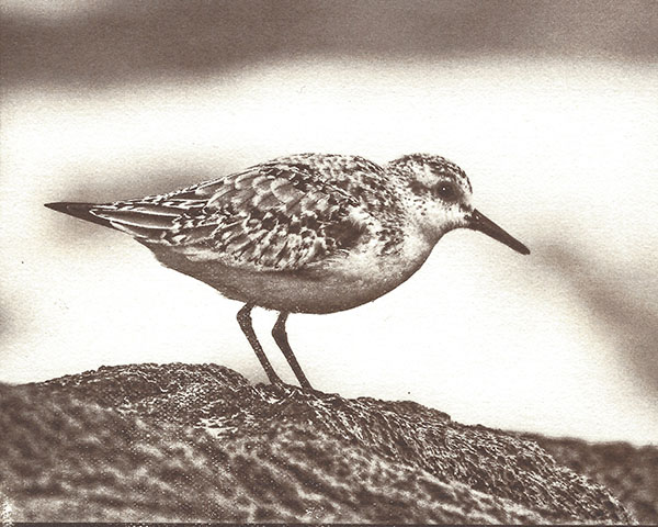 Shorebird (on Aristico HP)