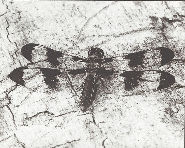 Dragonfly (on Platinum Rag)