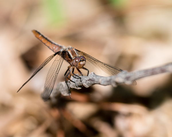 Chalk-fronted Corporal (female?)