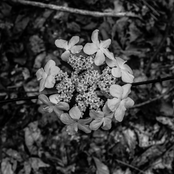 Hobblebush #4