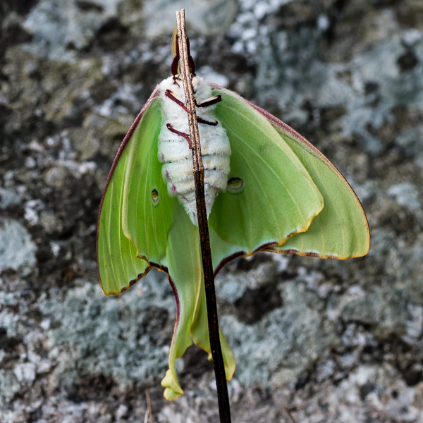 Luna Moth (female, ventral view)