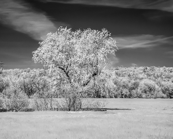 Weeping Willow (IR)