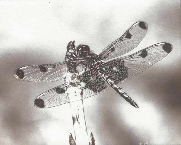 Calico Pennant (salted paper print)