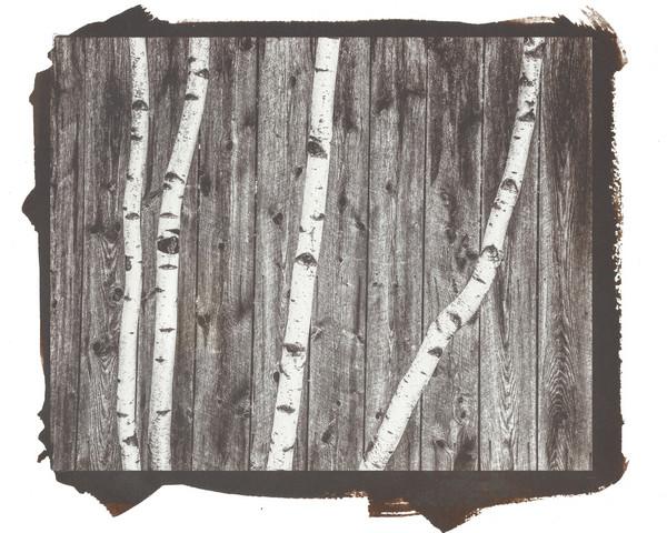Birches & Fence