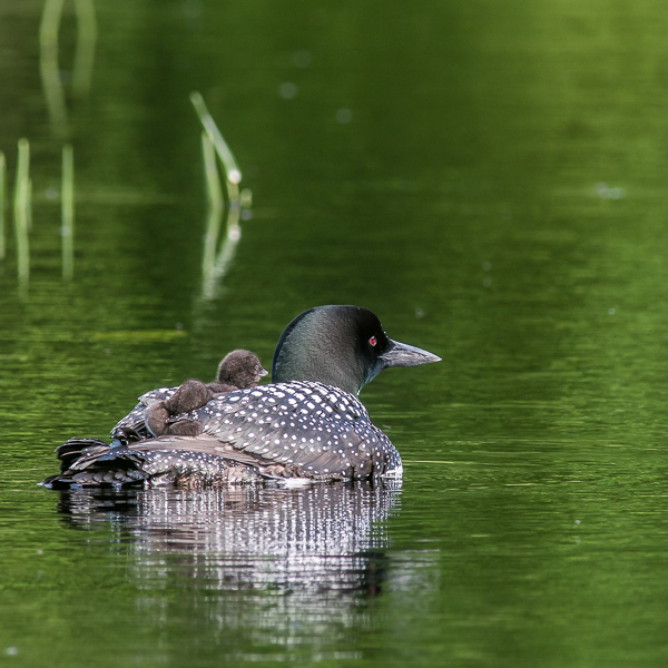 Adult and Two Chicks (2021 Loons)