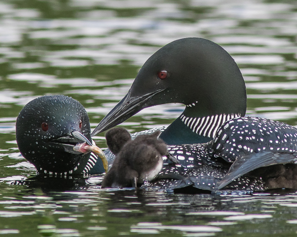 Feeding Time! (2021 Loons; extreme crop)