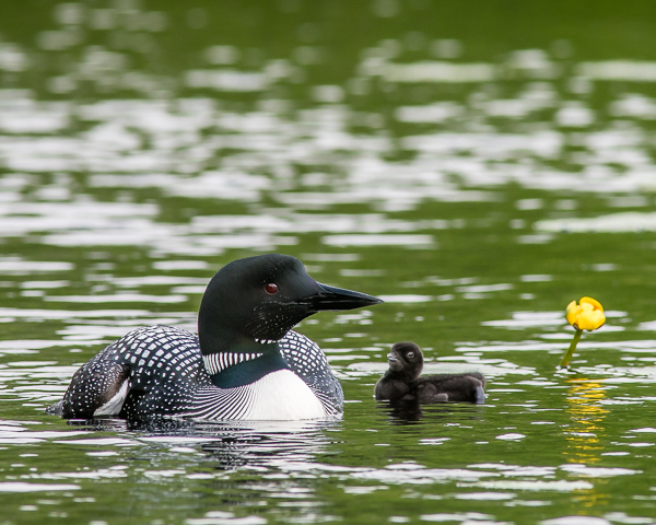 Adult and Chick #2 (2021 Loons)