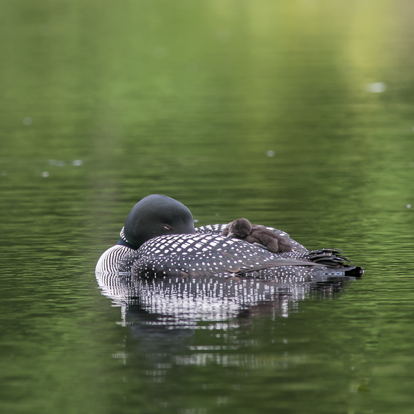 Nap Time! (2021 Loons)