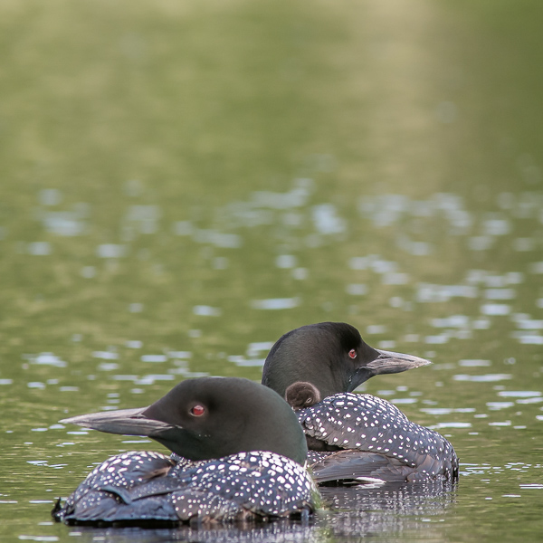 Two Adults and Once Chick (2021 Loons)