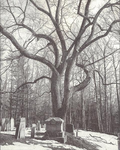 Cemetery Walnut Tree, Antrim Center