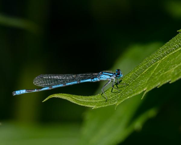 Familiar Bluet (male)