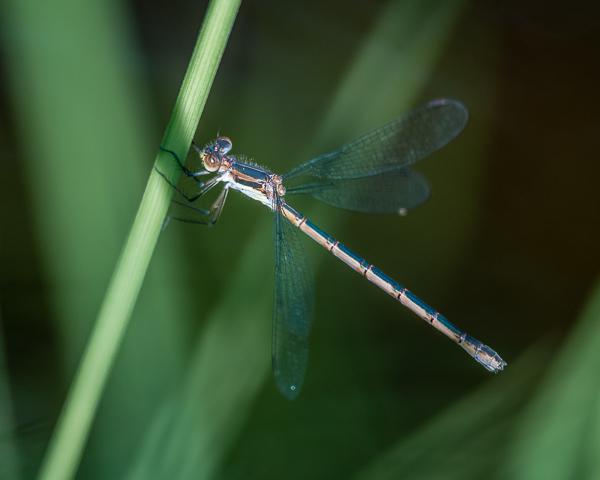 Emerald Spreadwing (female)
