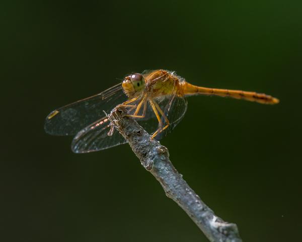Meadowhawk (imm. male)